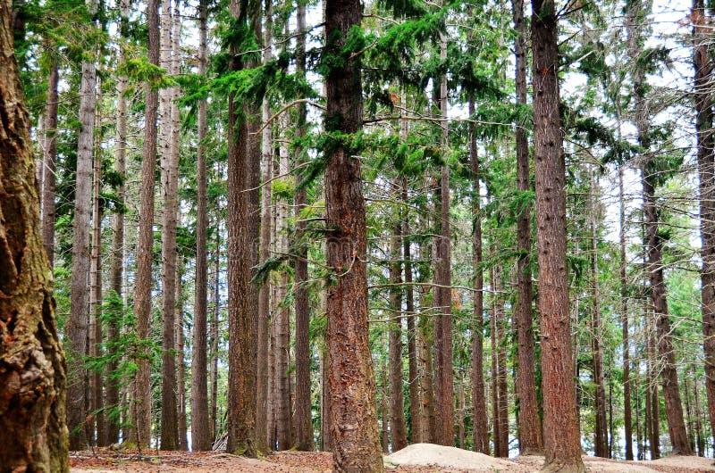 Queenstown Douglas Fir Pine Forest. Douglas Fir pine tree forest in Queenstown Botanical Gardens, Lake Wakatipu, Queenstown, New Zealand stock photo