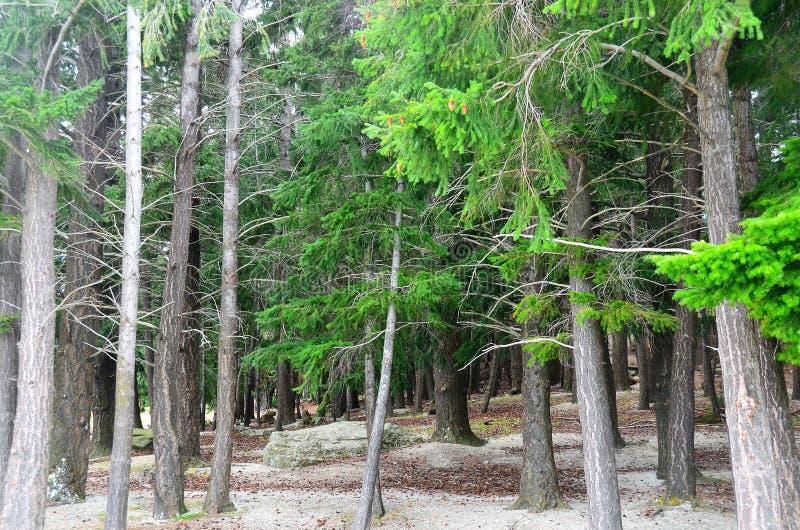Queenstown Douglas Fir Pine Forest. Douglas Fir pine tree forest in Queenstown Botanical Gardens, Lake Wakatipu, Queenstown, New Zealand stock image