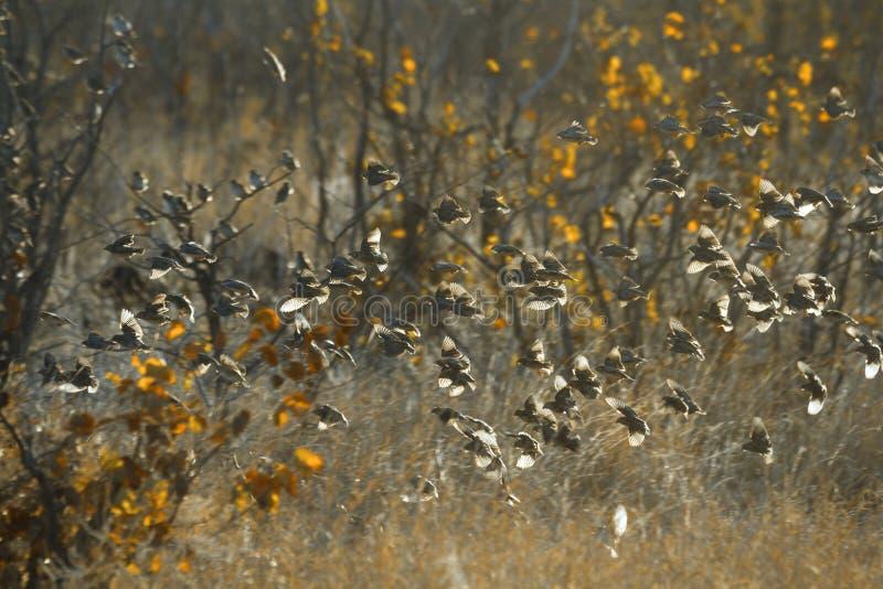 Quelea Rojo-cargado en cuenta en el parque nacional de Kruger, Suráfrica imágenes de archivo libres de regalías