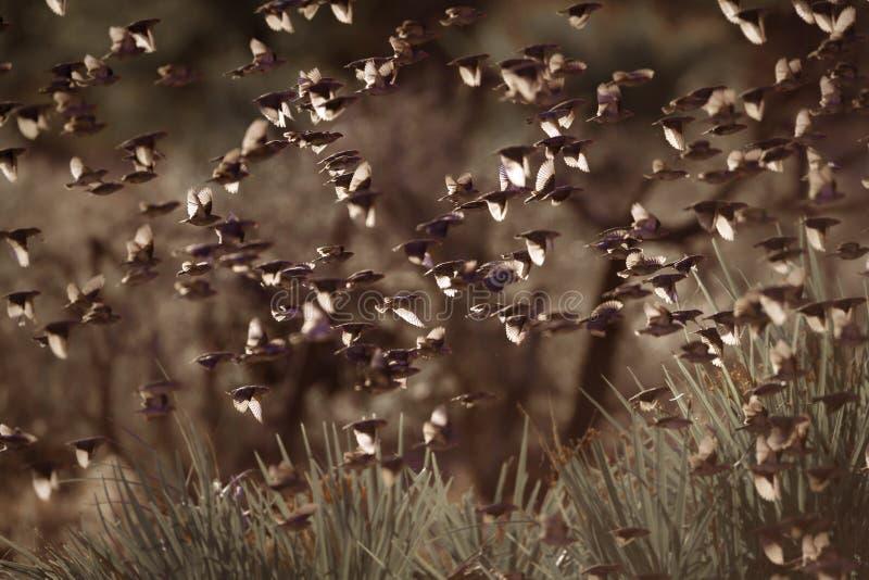 Quelea Rojo-cargado en cuenta en el parque nacional de Kruger, Suráfrica fotos de archivo