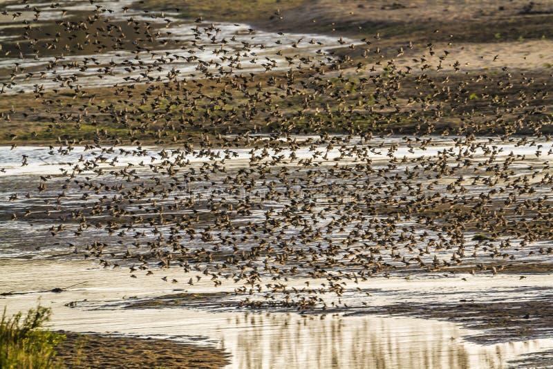 Quelea Rojo-cargado en cuenta en el parque nacional de Kruger, Suráfrica imagen de archivo