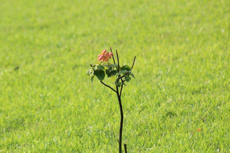 quello è un piccolo albero con una rosa rossa fotografia stock