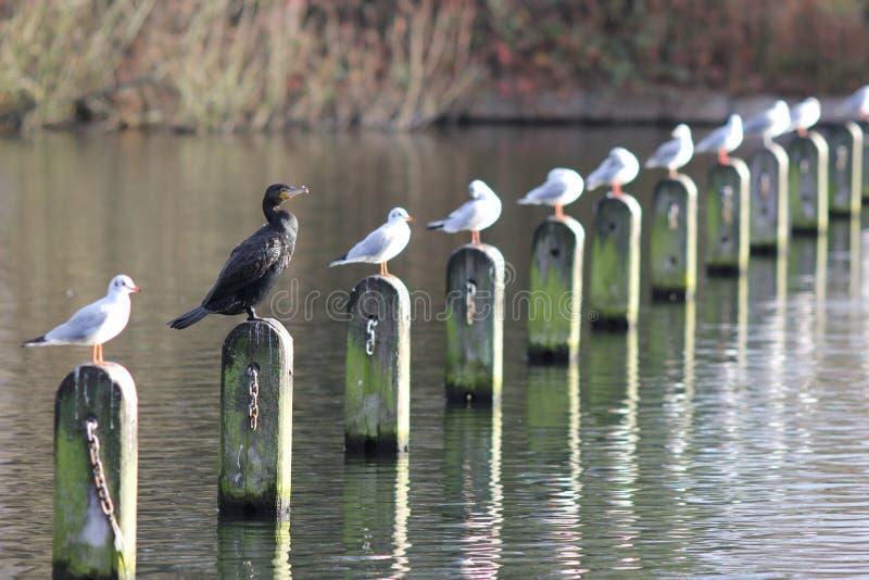 Quello dispari fuori: cormorano nero fotografia stock
