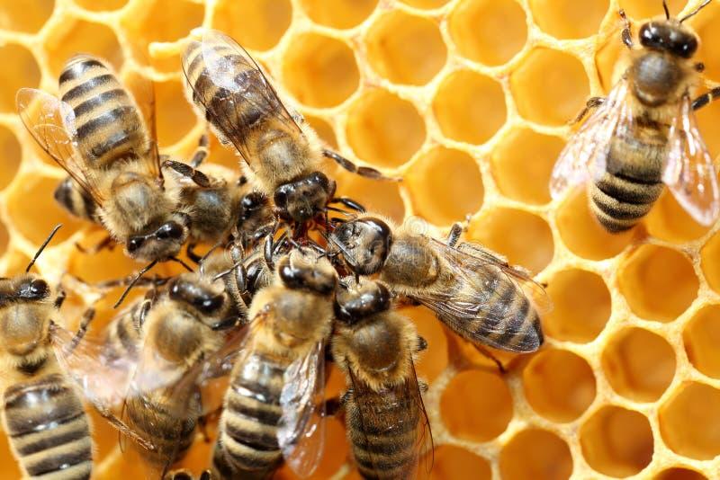 Quelques abeilles de miel travaillent photos libres de droits