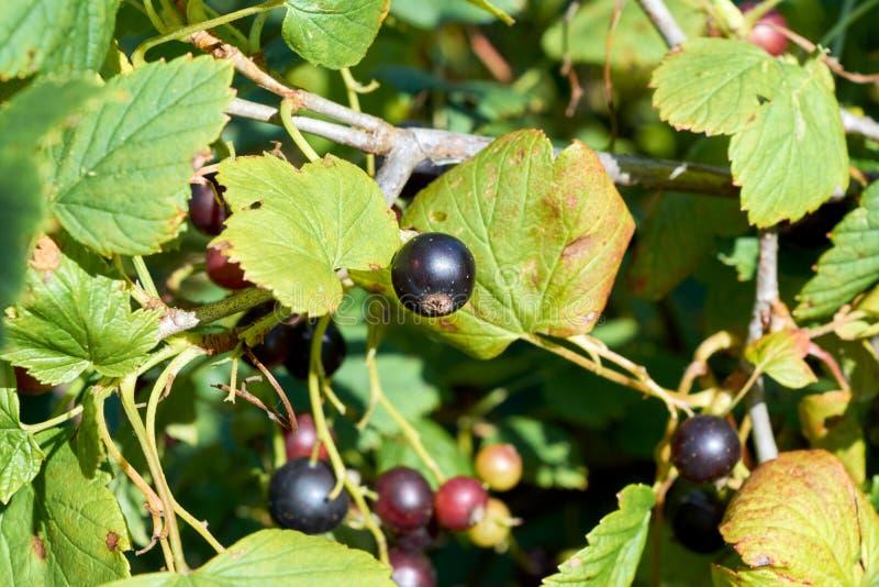 Baies Organiques De Cassis Sur Un Arbuste Photo Stock Image Du