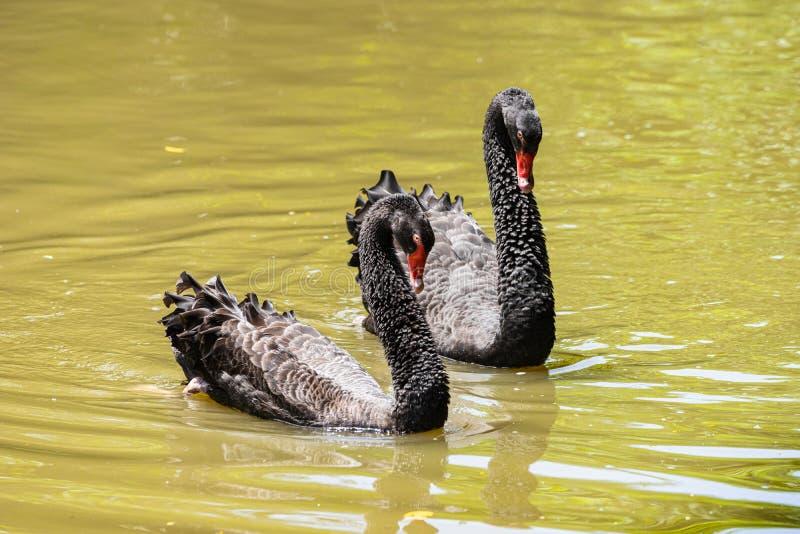 Quelques cygne noir allant au devant dans le lac photos stock