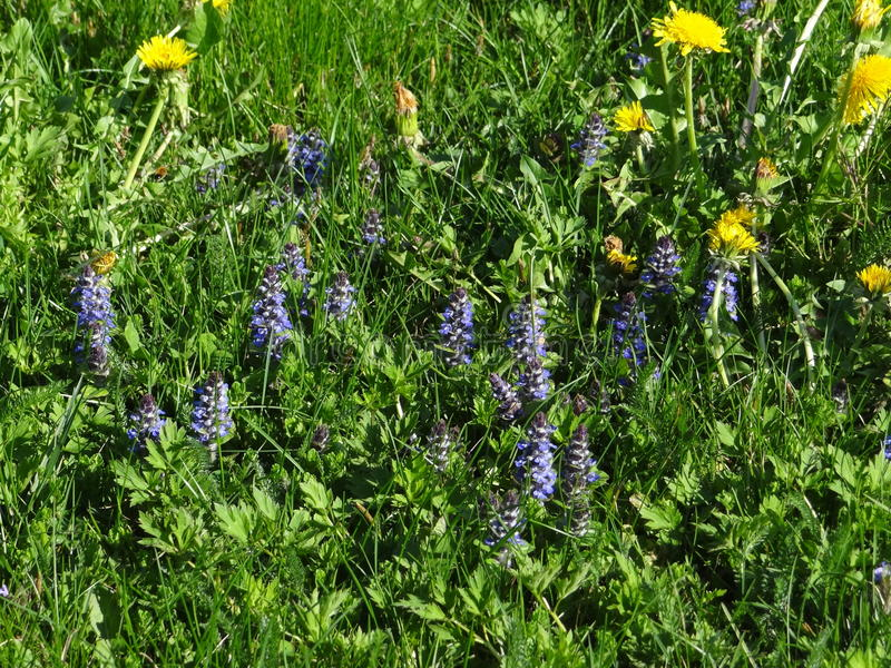 Download Quelques Fleurs De Pissenlit Cohabitent Avec Des Bugles De Rampement Photo stock - Image du fleur, beau: 87703138