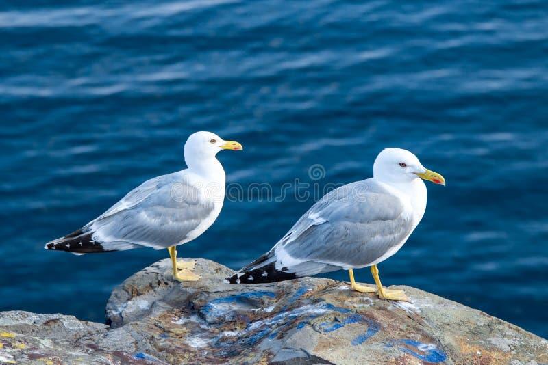 Quelques mouette sur une roche par la mer bleue propre, macro image libre de droits