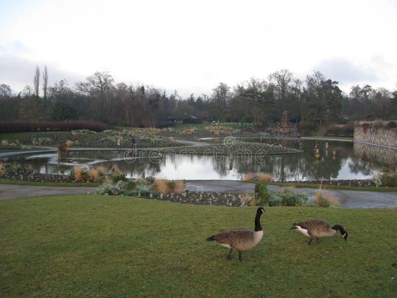 Quelques oies appréciant les herbes froides dans le Parc De floral Paris, Paris photographie stock libre de droits