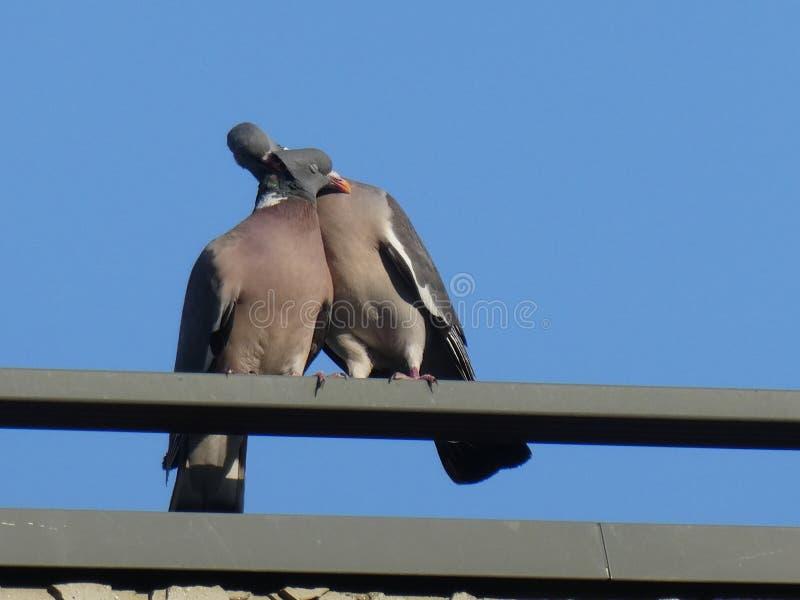 Quelques pigeons dans l'amour sur un fond de ciel bleu image libre de droits