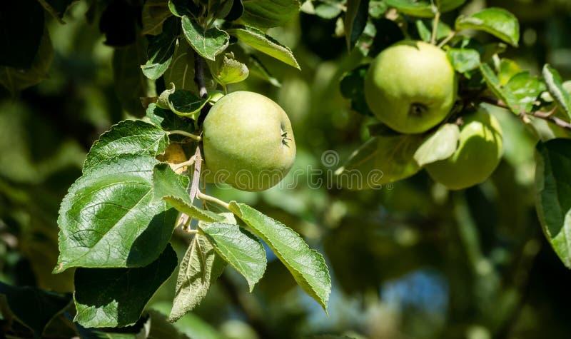 Quelques pommes toujours vertes mûres sur leur arbre photos libres de droits