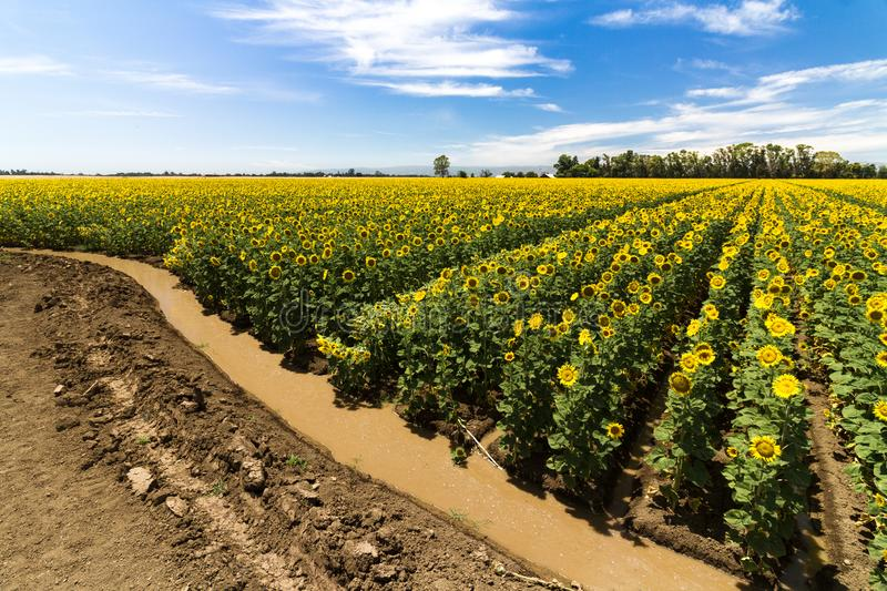 Quench - Thirsty Sunflowers. Quench - Sunflower fields receive a welcome drink. Yolo County, California, USA royalty free stock images