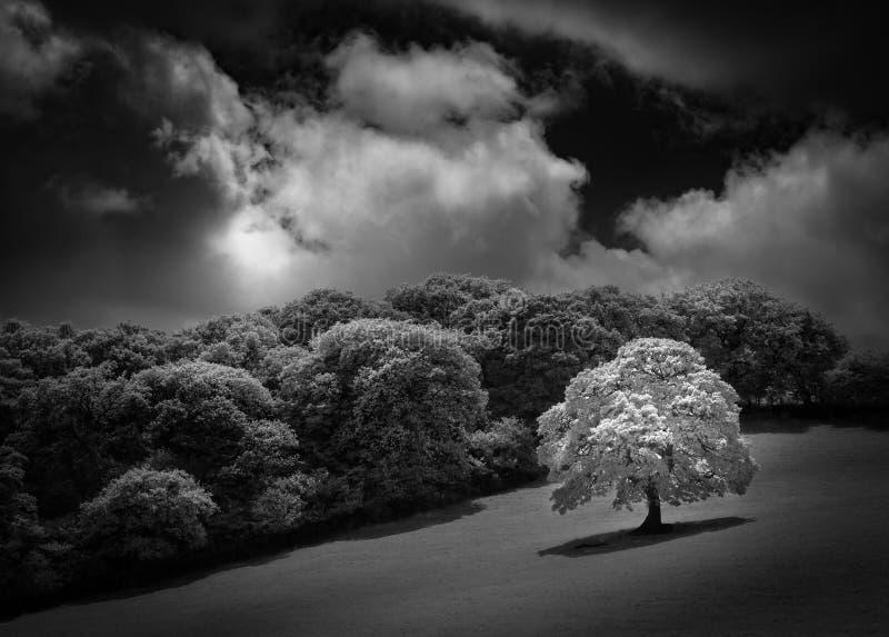 Quercia bianca nel campo, catturato in in bianco e nero infrarosso immagini stock