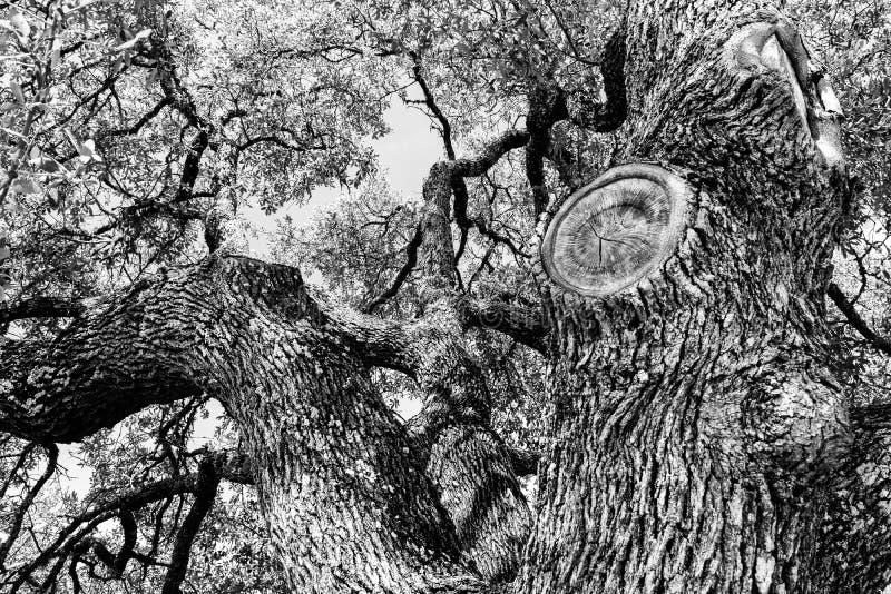 Quercia in bianco e nero fotografie stock libere da diritti