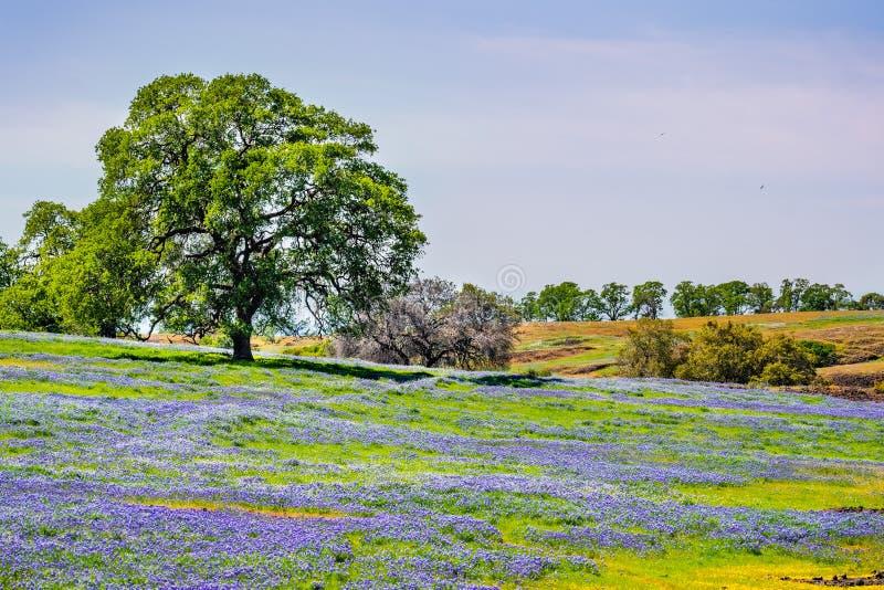 Quercia che cresce su un prato coperto in wildflowers di fioritura un giorno di molla soleggiato; Riserva ecologica della montagn immagini stock