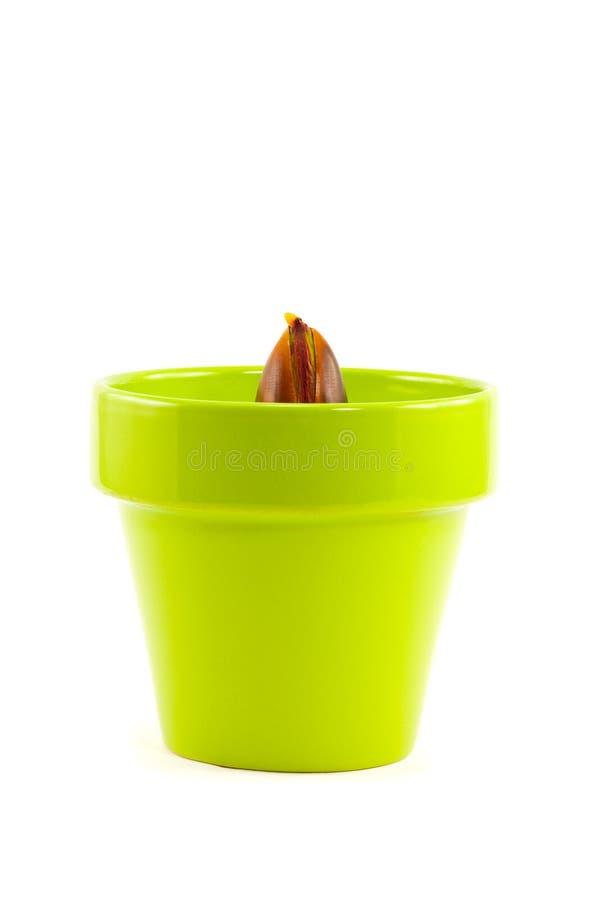 Quercia che germoglia dalla ghianda in POT di argilla verde fotografia stock