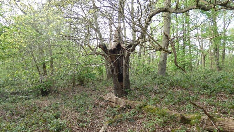 Quercia che si nasconde nel parco nazionale 1 di Havering fotografie stock