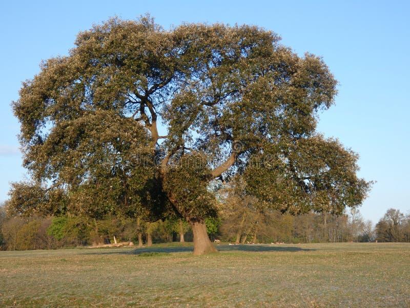 Quercia che si nasconde nel parco nazionale di Havering fotografia stock libera da diritti