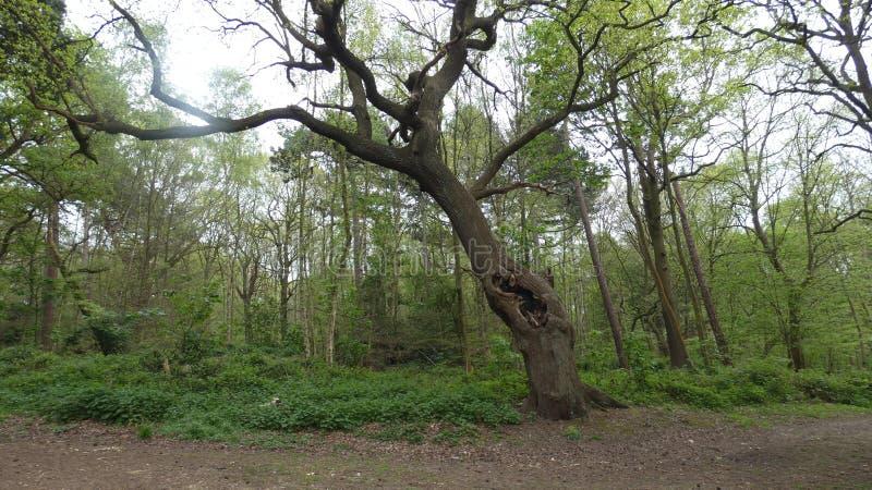 Quercia che si nasconde nel parco nazionale di Havering fotografia stock
