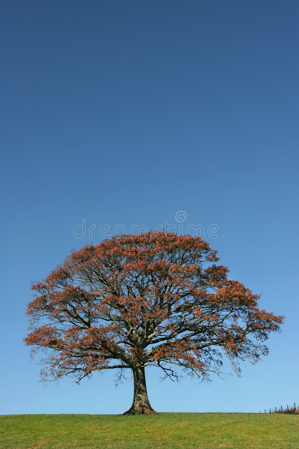 Quercia d'autunno fotografie stock libere da diritti