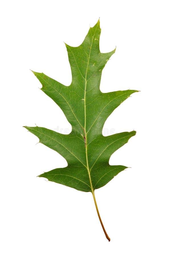 Quercia delle foglie verdi di autunno isolata fotografia stock