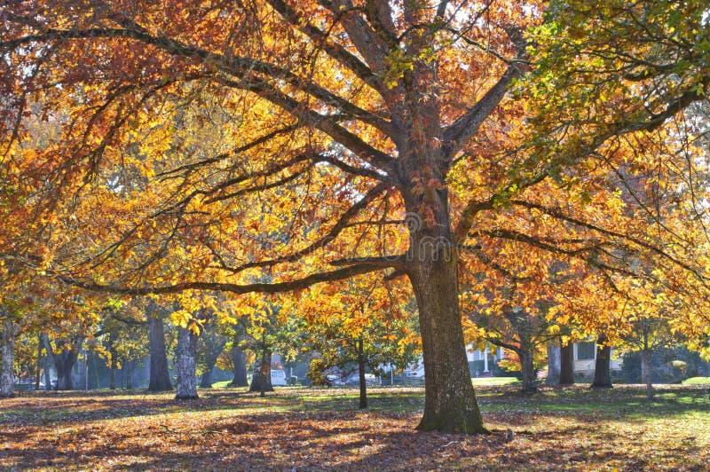 Quercia enorme con le foglie colorate vive di arancio, di giallo, oro e rosso fotografie stock libere da diritti