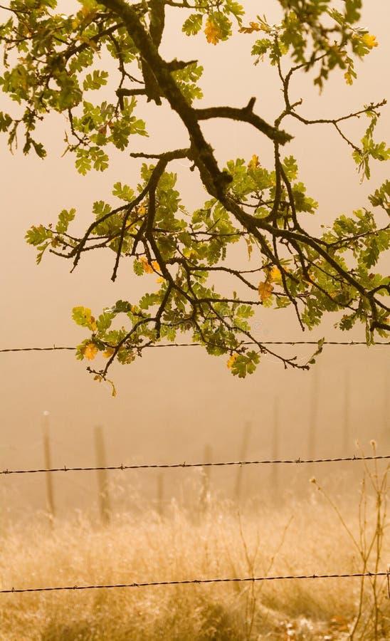 Quercia nebbiosa di mattina fotografia stock libera da diritti