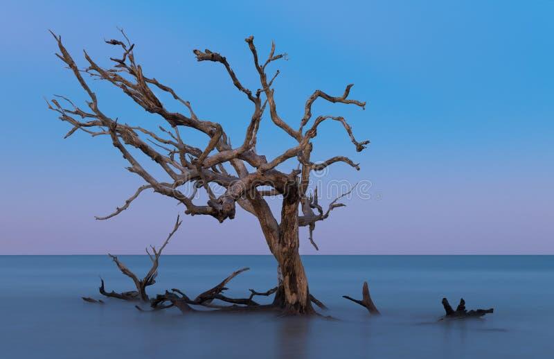 Quercia nuda fuori dalla spiaggia del legname galleggiante fotografia stock libera da diritti