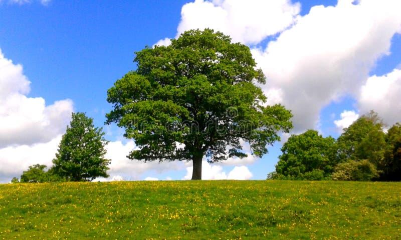 Quercia in un campo dei ranuncoli, Inghilterra fotografie stock libere da diritti