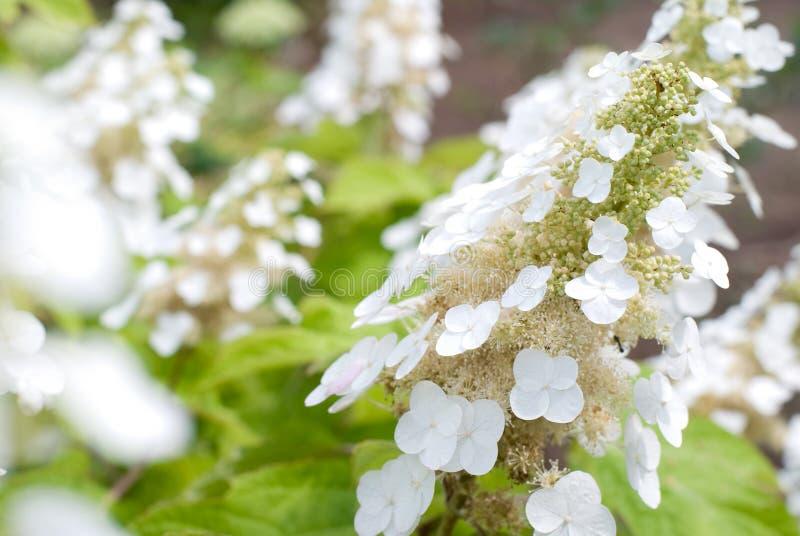 Quercifoliabloem van de hydrangea hortensia royalty-vrije stock fotografie