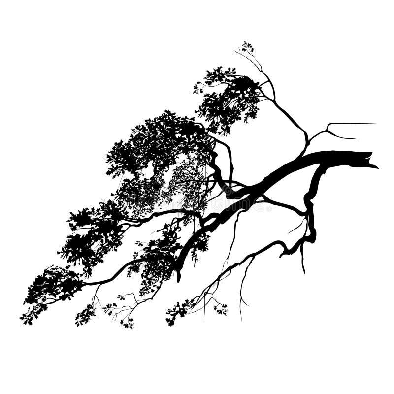 Quercus L del roble silueta de la rama con follaje ilustración del vector