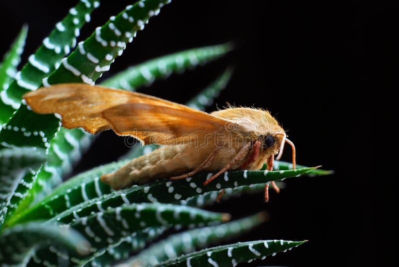 quercus marumba sphingidae στοκ εικόνα