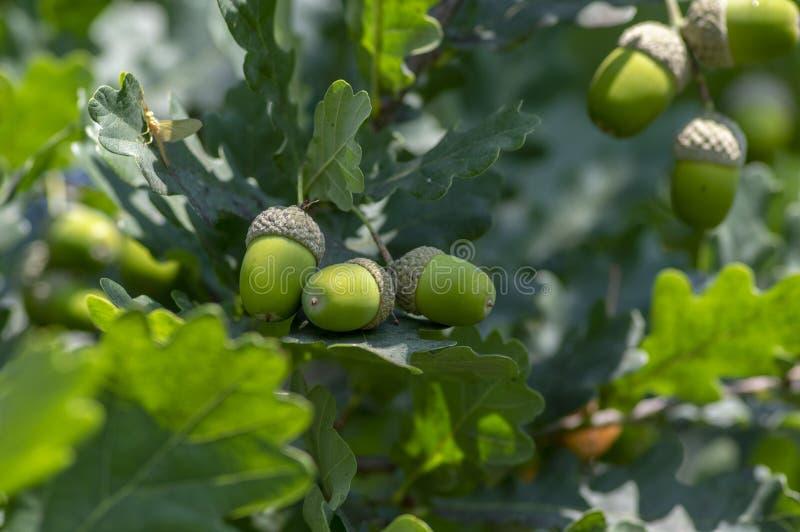 Quercus robur πράσινοι κλάδοι δέντρων με τα φύλλα και τα ανώριμα βελανίδια φρούτων στοκ εικόνες