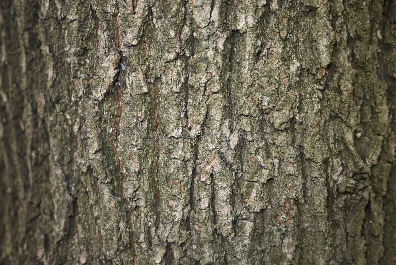 Quercus robur bark royalty free stock photos