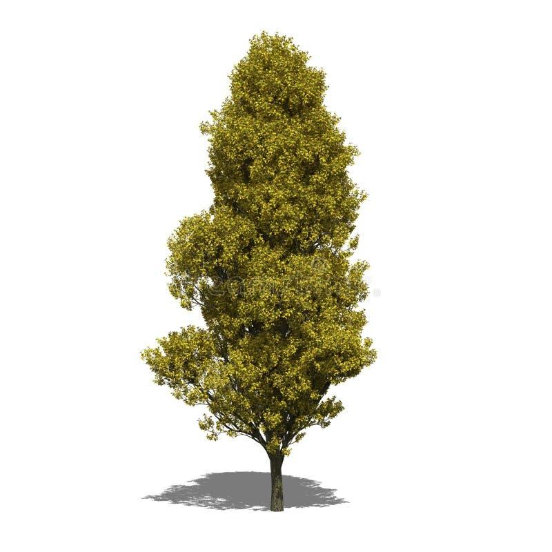Free Quercus Robur  Fastigiata  (autumn) Stock Photos - 42601573