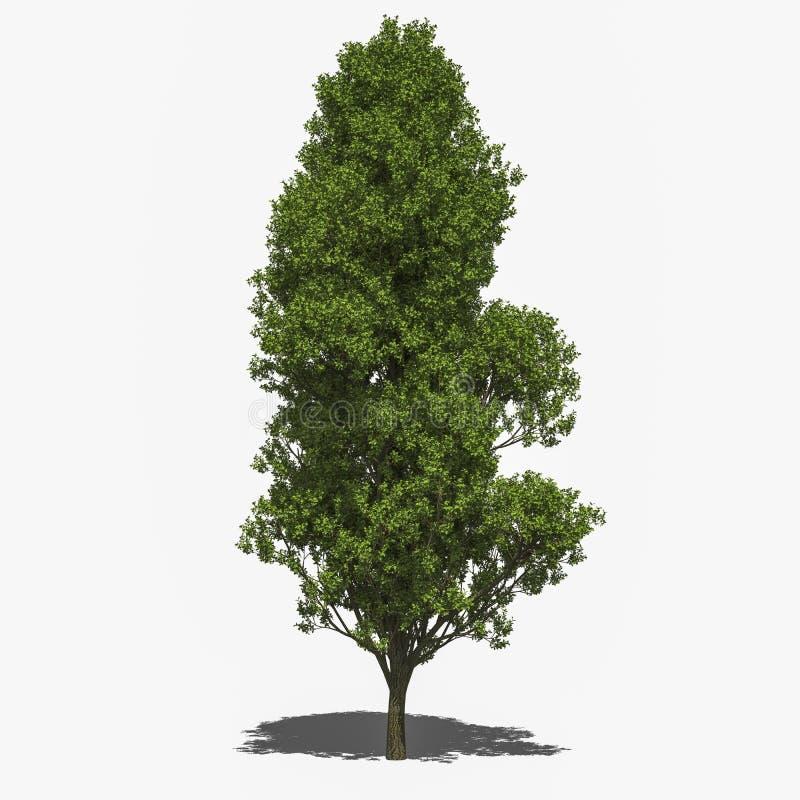 Free Quercus Robur  Fastigiata  (summer) Royalty Free Stock Photography - 42602627