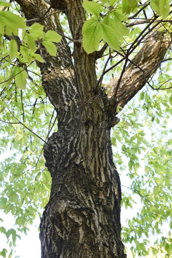 Free Quercus Serrata Bark And Leaves Royalty Free Stock Images - 180657419