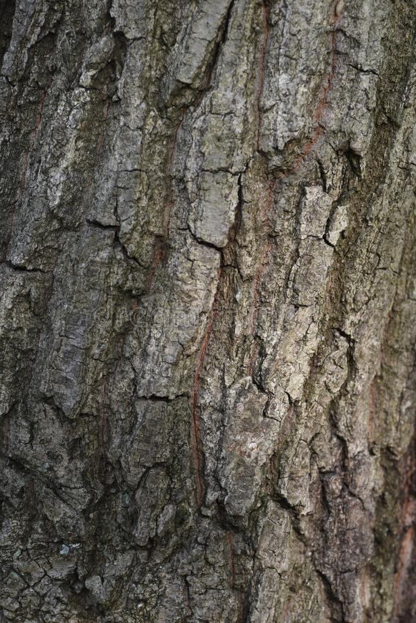 Free Quercus Serrata Bark And Leaves Royalty Free Stock Images - 180657579