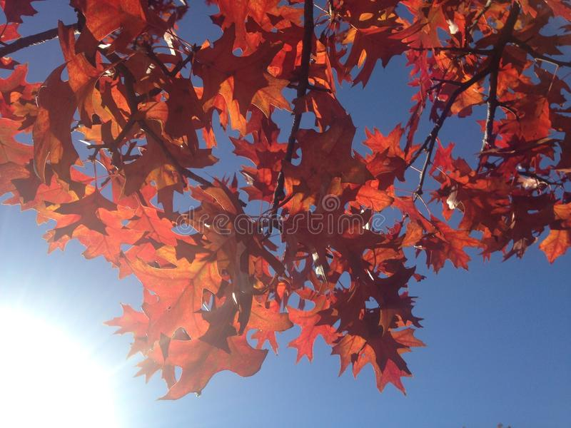A Quercus Shumardii Tree with Red Leaves in the Fall. royalty free stock image