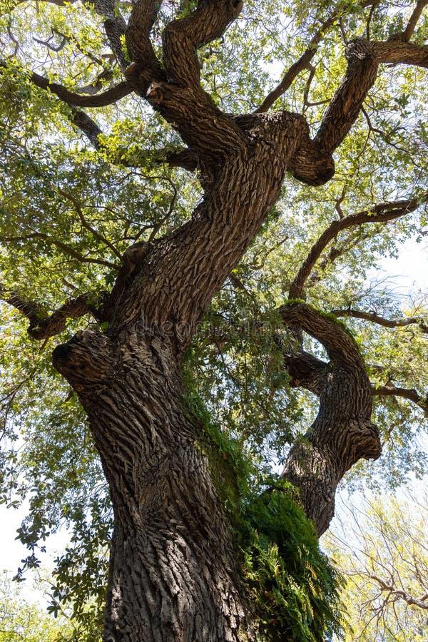 Quercus virginiana, anche conosciuto come Live Oak del sud immagine stock