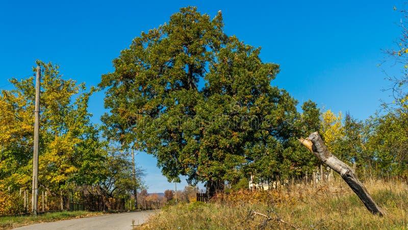 Quercuscerris arkivbild