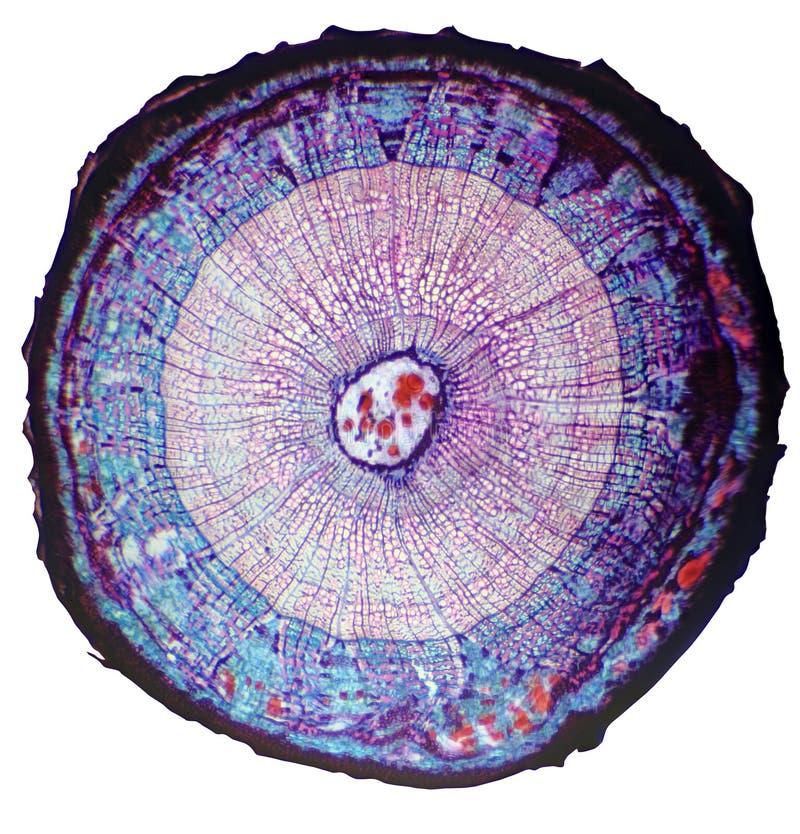 Querschnitt der waldigen Anlage des Stammes unter dem Mikroskop stockbild