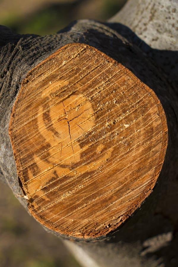 Querschnitt des Baums lizenzfreies stockbild