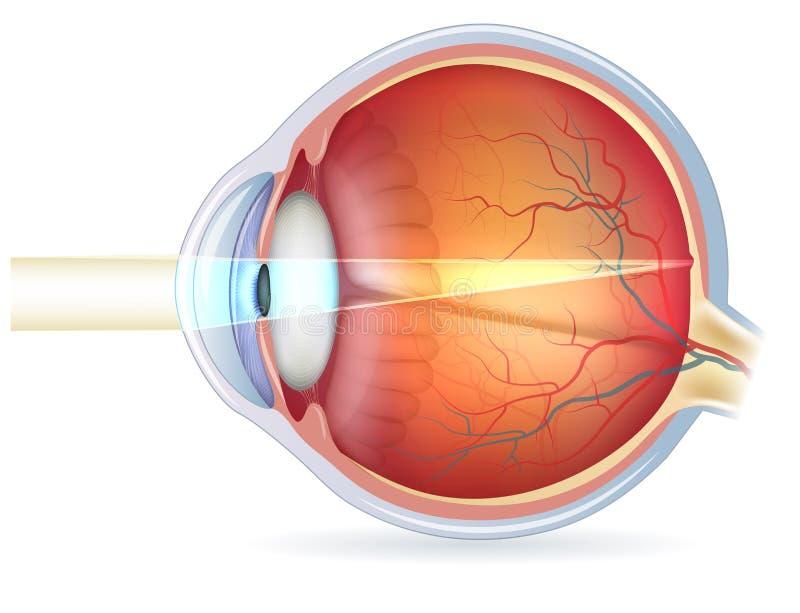 Querschnitt des menschlichen Auges, normale Vision lizenzfreie abbildung