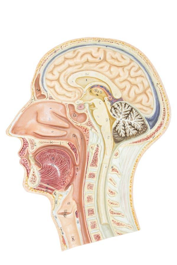 Querschnitt des menschlichen Kopfes lizenzfreies stockfoto