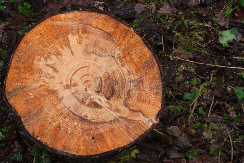 QuerschnittKiefernholzbeschaffenheit stockbilder