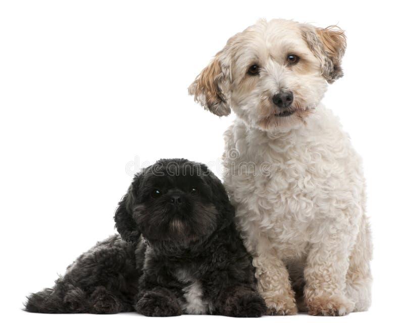 Querzuchthund, 8 Jahre alt und Lhasa Apso, 4 Jahre alt stockfoto