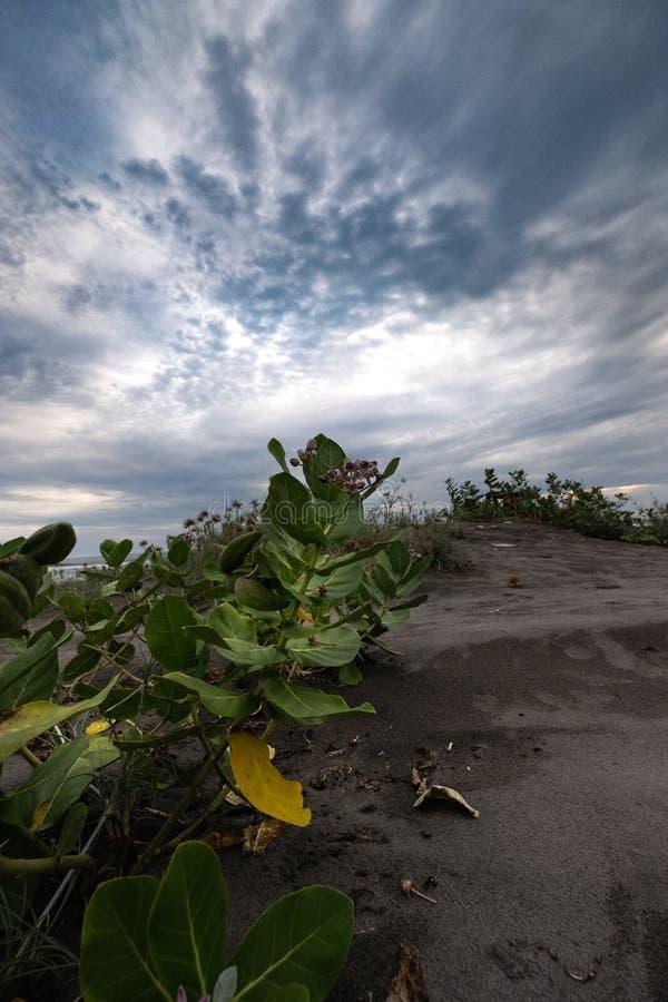 Questa pianta verde sta sviluppandosi sulla spiaggia asciutta e sabbiosa immagine stock