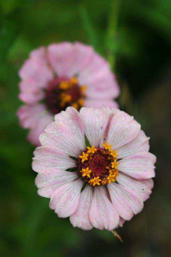 Queste fioriture d'arrossimento minute di zinnia rivelano la struttura complessa fotografia stock libera da diritti