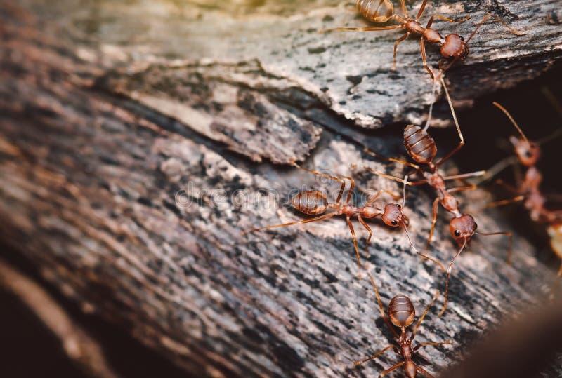 Queste formiche selvagge escono per alimento e stanno camminando sugli alberi fotografia stock